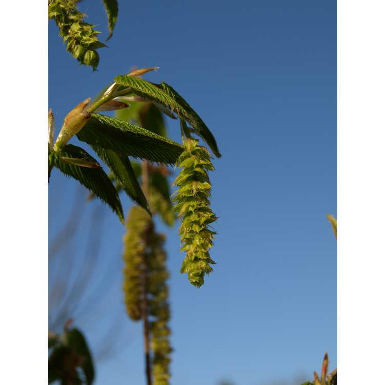 Ostrya japonica - Japanese hophornbeam