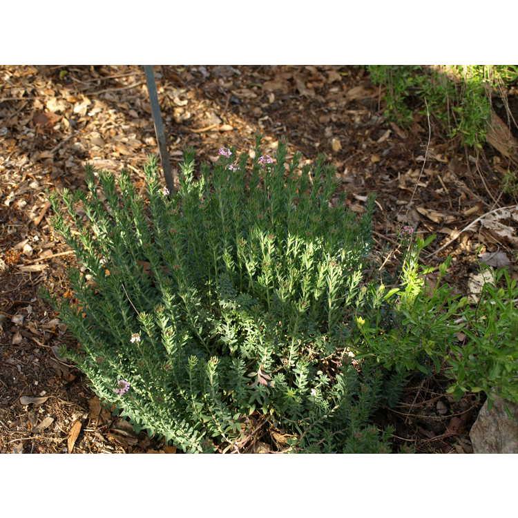 Aethionema saxatile - stonecress