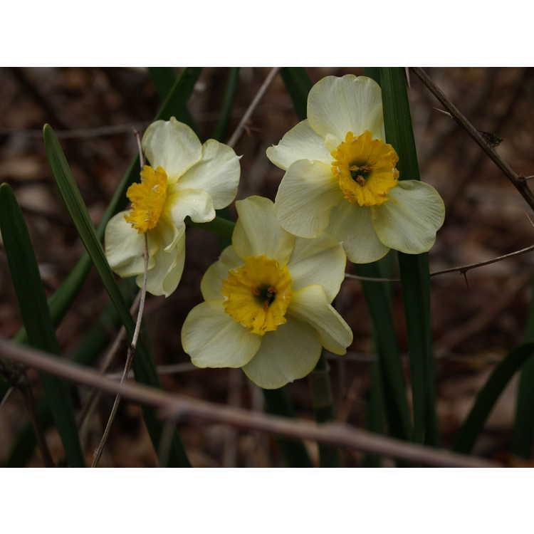 Narcissus medioluteus