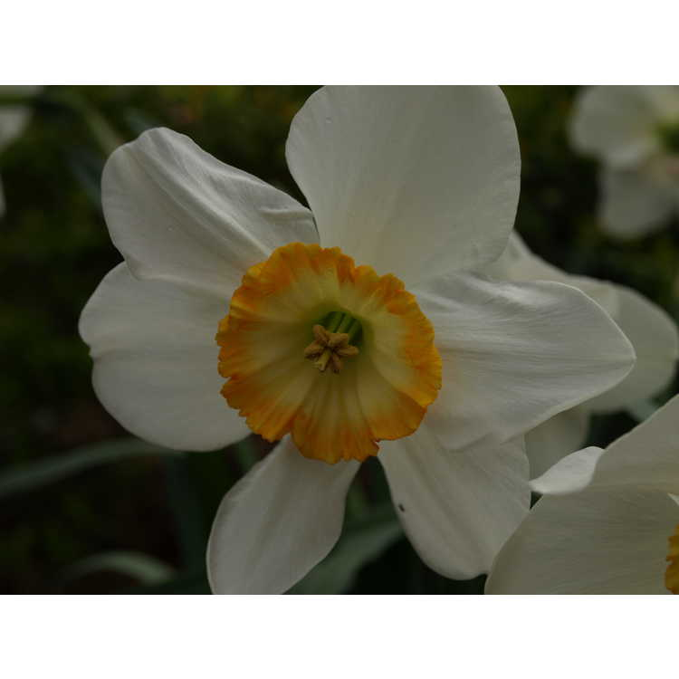 Narcissus 'Manon Lescaut' - large-cupped daffodil