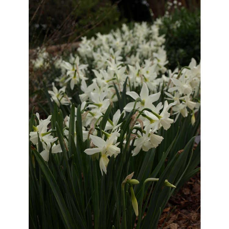 Narcissus 'Thalia' - triandrus daffodil