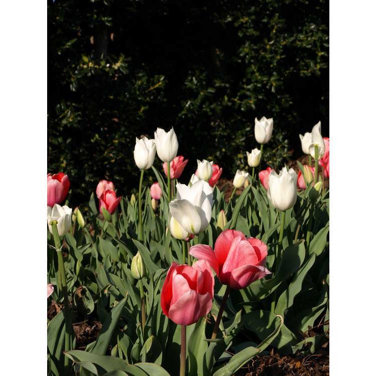 Tulipa 'Pink Impression'