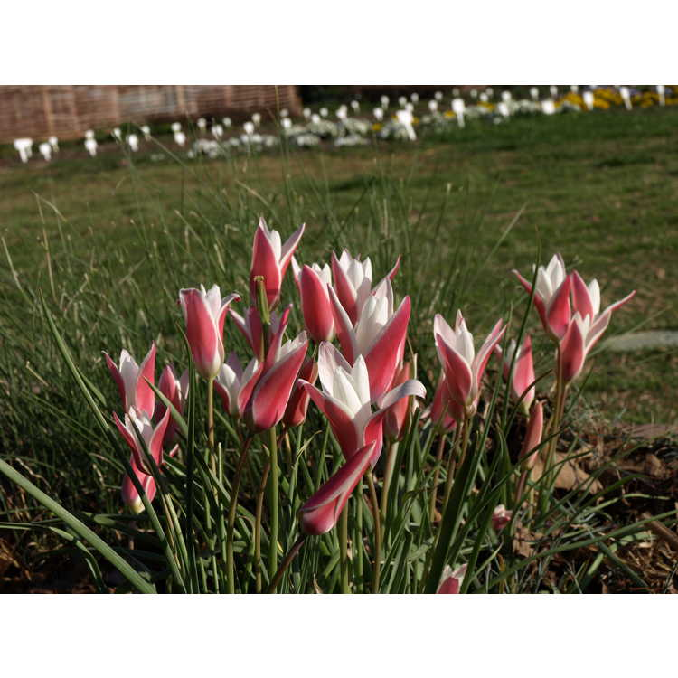 Tulipa clusiana Lady Jane