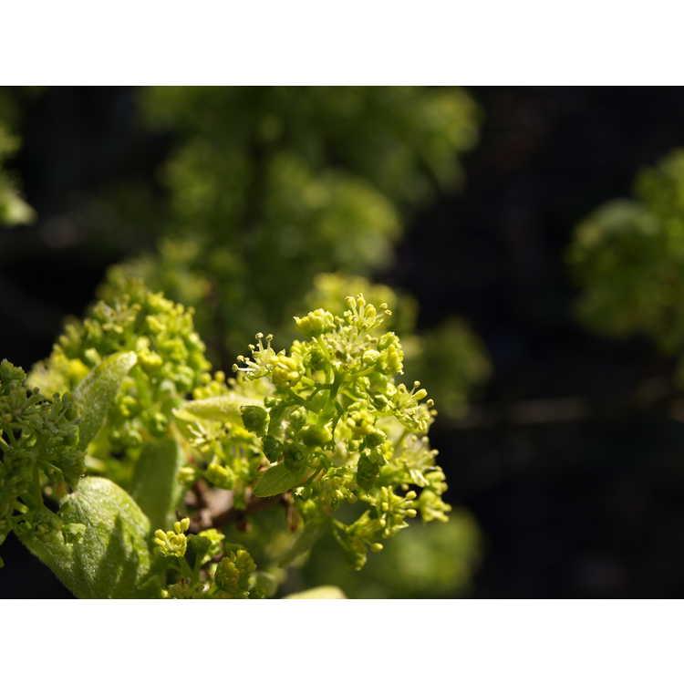 Acer buergerianum 'Miyasama' - prince's maple