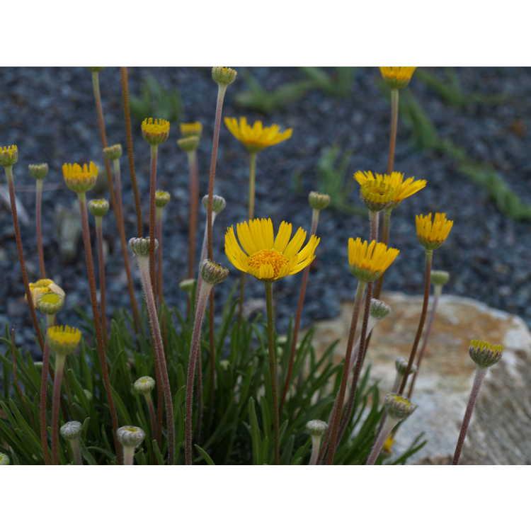 Tetraneuris acaulis - angelita daisy