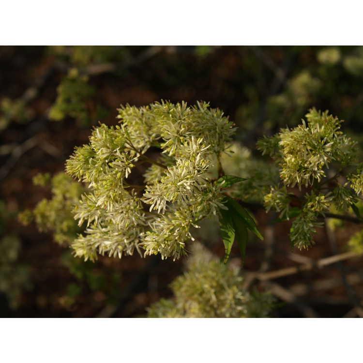 Fraxinus sieboldiana - Japanese flowering ash