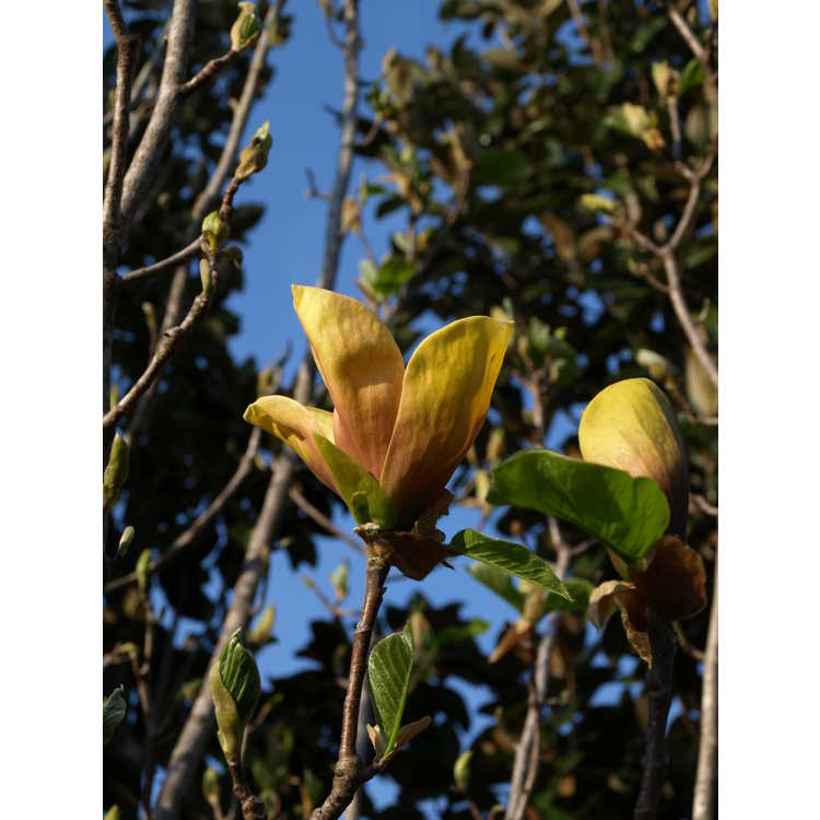 Magnolia Judy Zuk