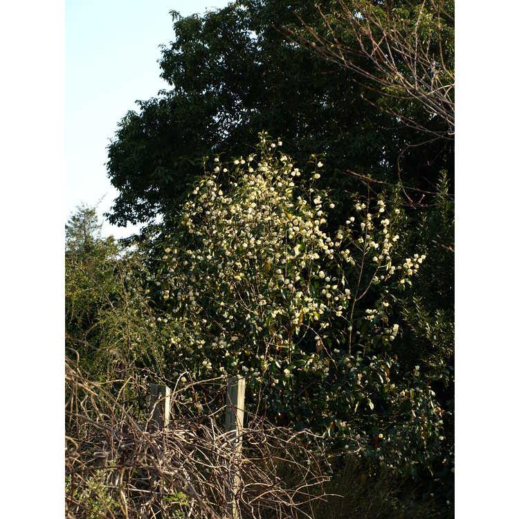 Magnolia hybrid #3