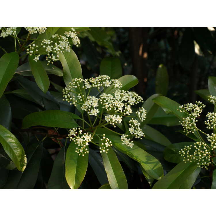 Photinia serratifolia 'Green Giant'