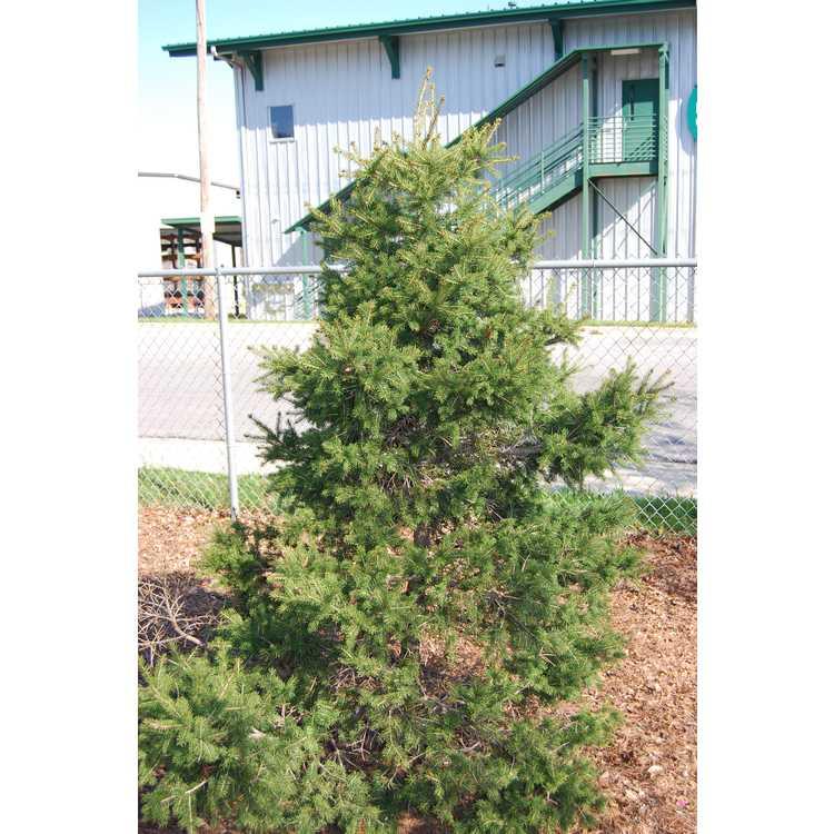 Picea maximowiczii