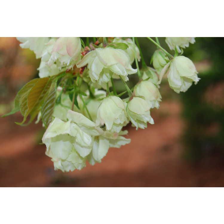 Prunus 'Ukon' - green-flowering cherry