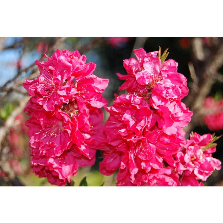 Prunus persica 'NCSU Dwarf Double Red' - dwarf flowering peach