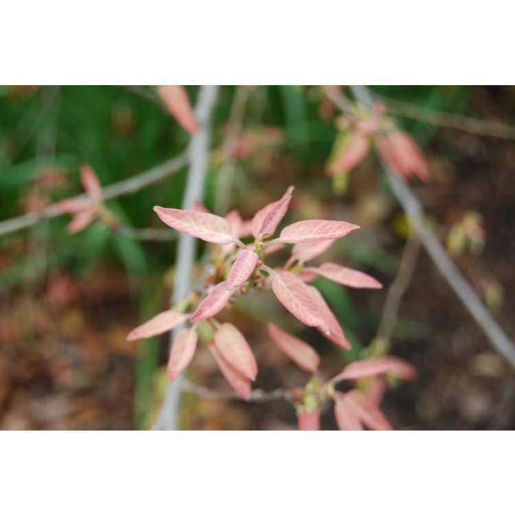Quercus polymorpha - Monterrey oak