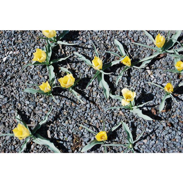 Tulipa linifolia [Batalinii Group] 'Bright Gem'