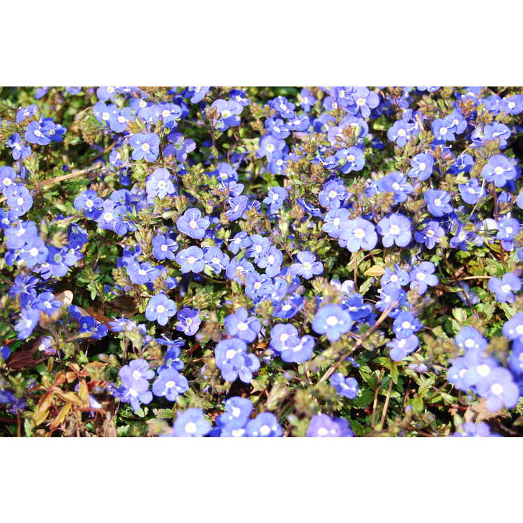 Veronica umbrosa 'Georgia Blue' - creeping veronica