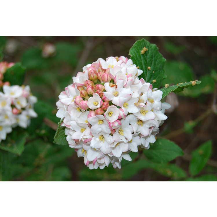Viburnum ×carlcephalum 'Cayuga'