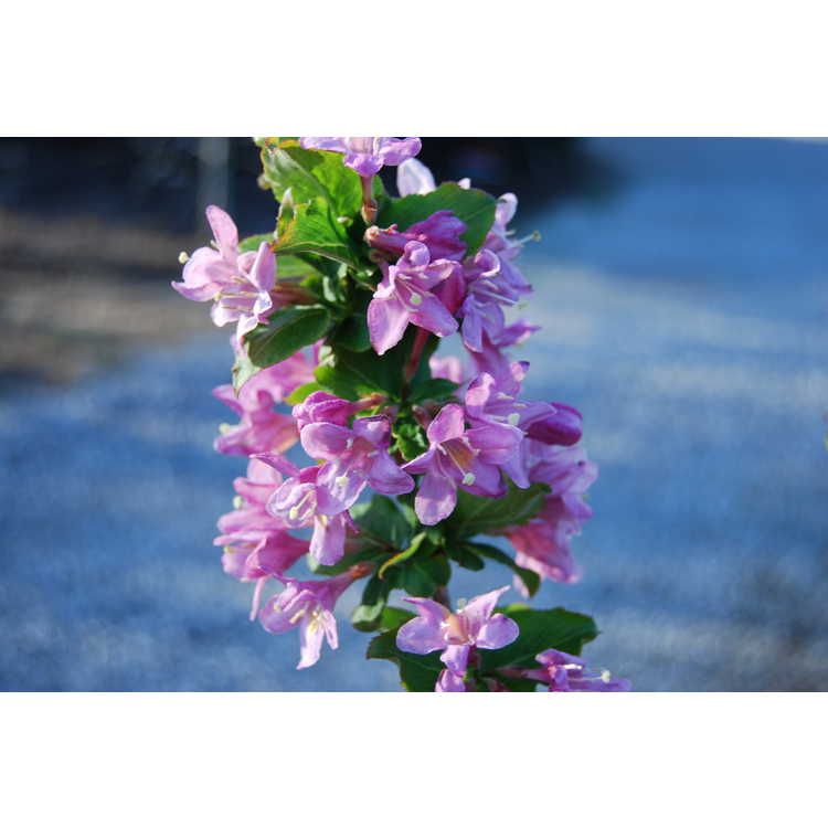 Weigela praecox - early weigela