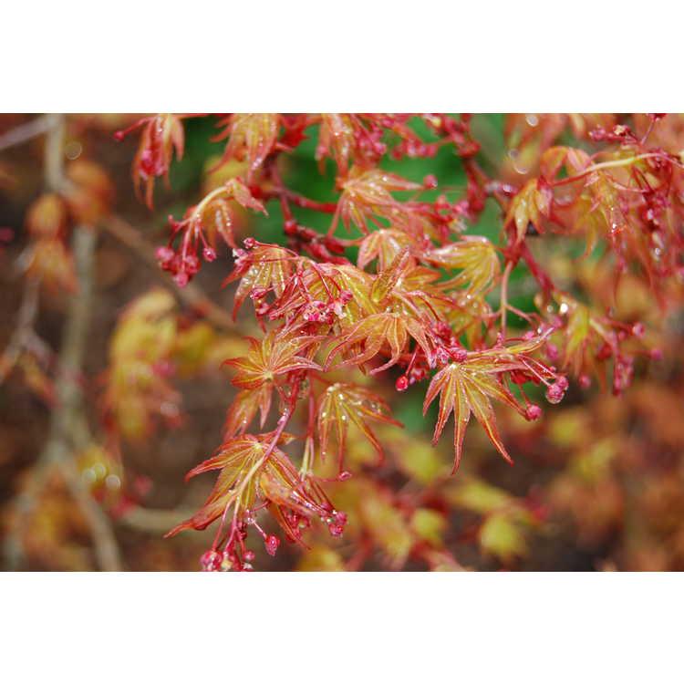 Acer palmatum Corallinum