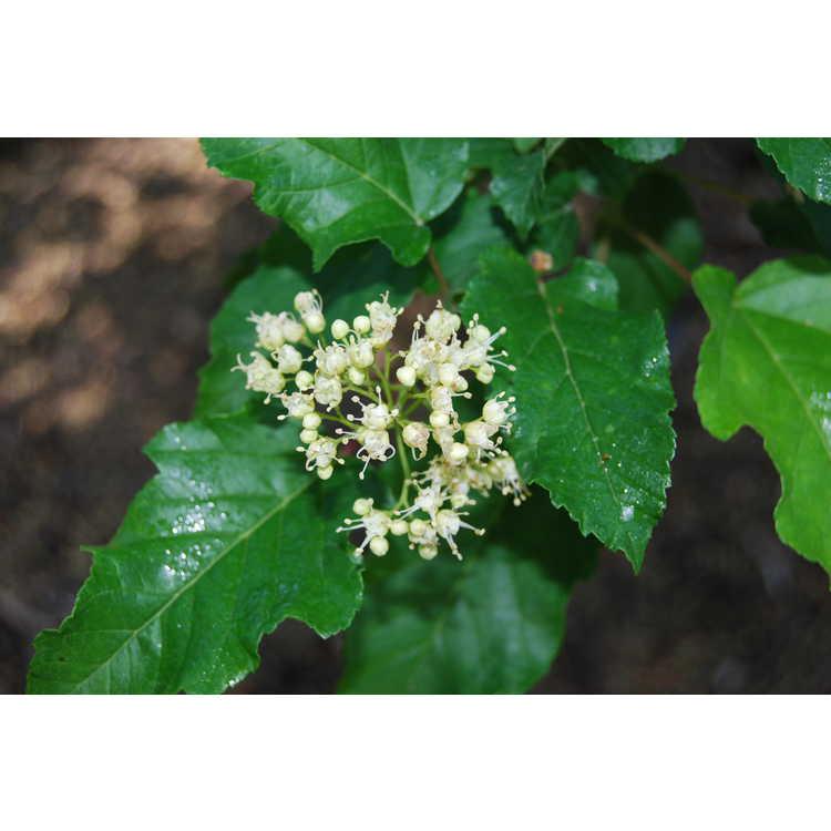 Acer stachyophyllum betulifolium