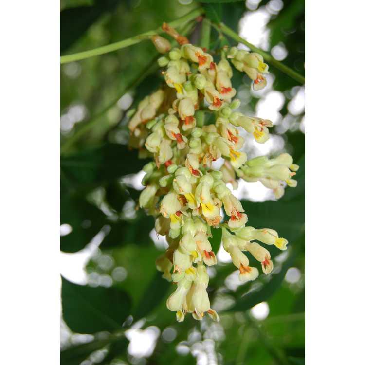 Aesculus ×woerlitzensis