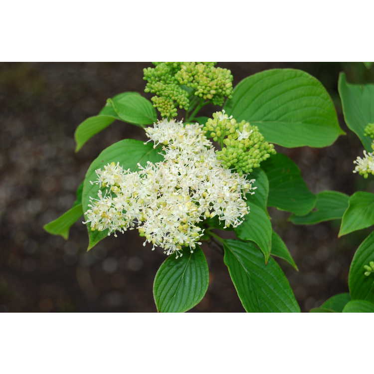 Cornus-alternifolia-001-JCRA-4-28-08.JPG