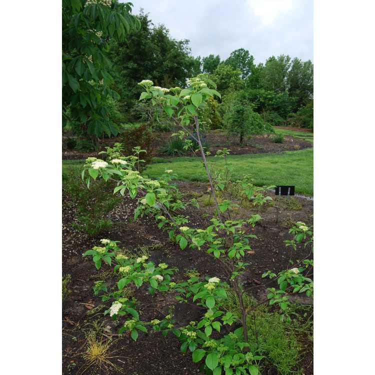 Cornus-alternifolia-002-JCRA-4-28-08.JPG