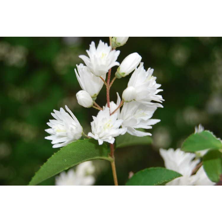 Deutzia rubens - white deutzia