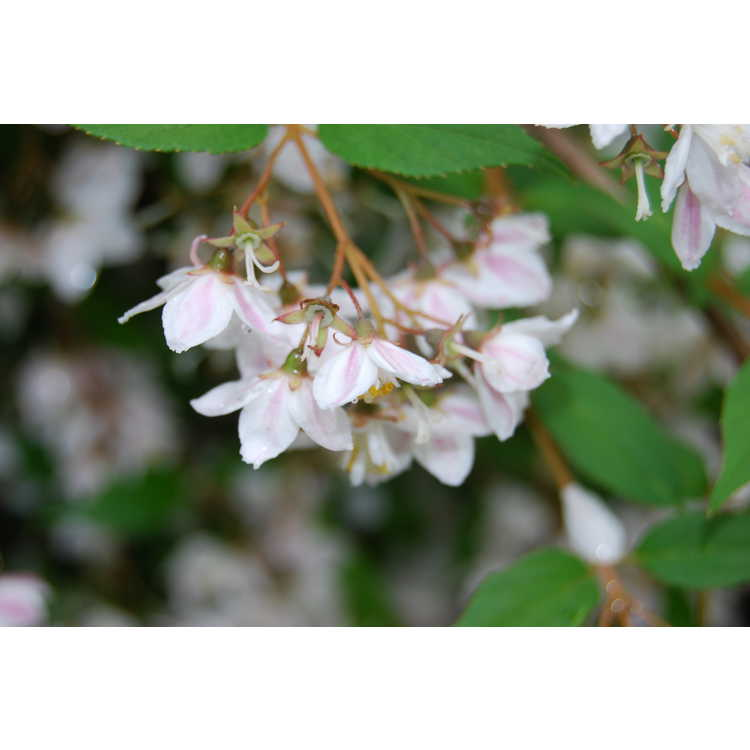 Deutzia scabra 'Pink Minor'