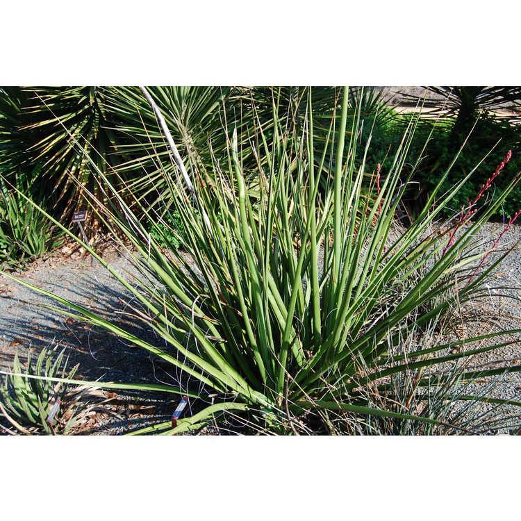 Hesperaloe funifera - false yucca