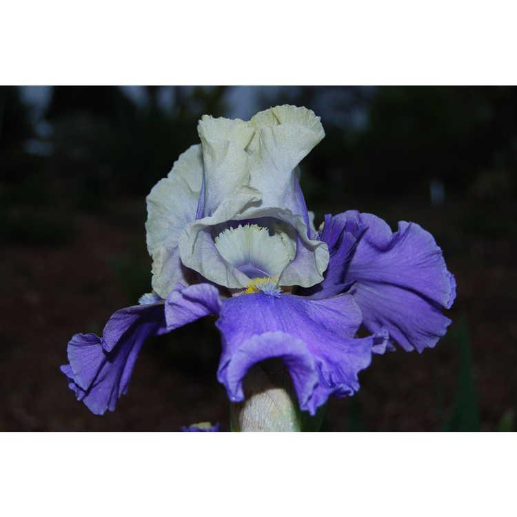 Iris 'In Your Dreams' - tall bearded iris