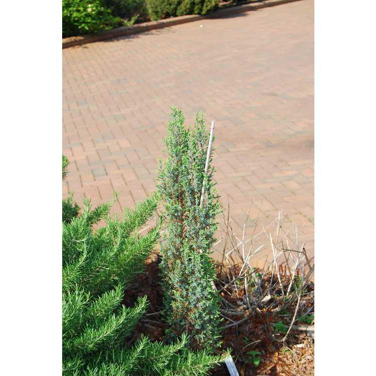Juniperus communis 'Veitch's Blue' - compact common juniper