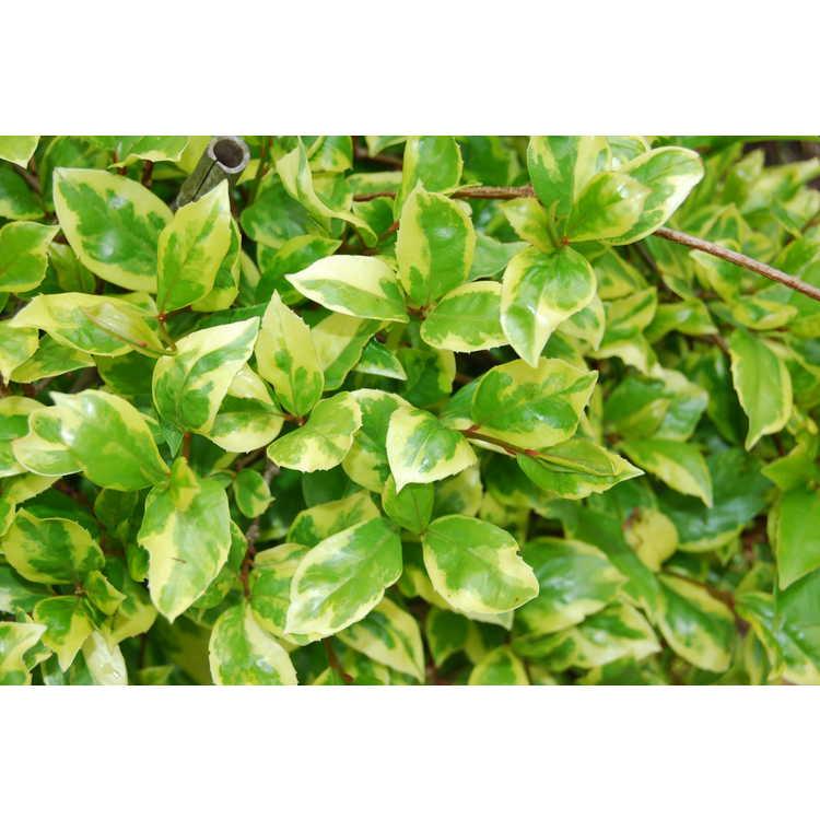 Kadsura japonica 'Fukurin' - variegated Japanese kadsura