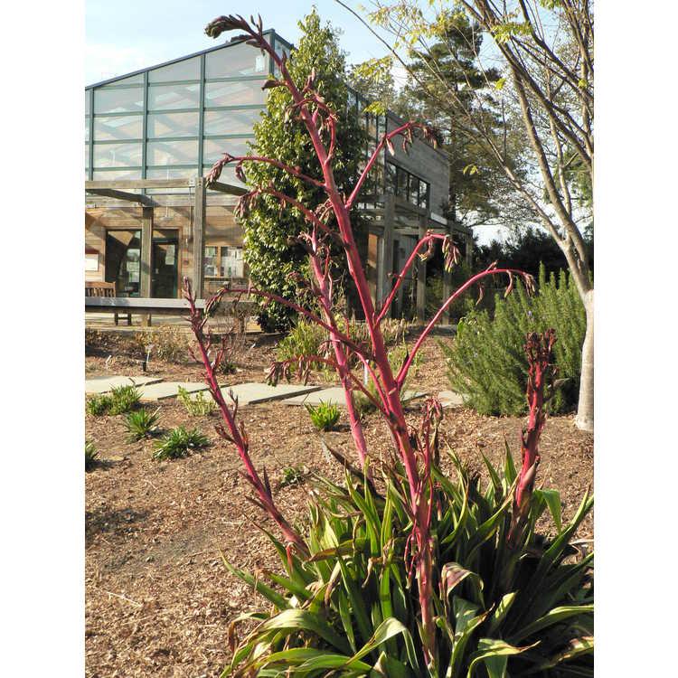 Beschorneria (B. dekosteriana × B. septentrionalis) × B. septentrionalis - hybrid false red agave