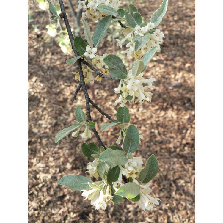 Elaeagnus viridis delavayi