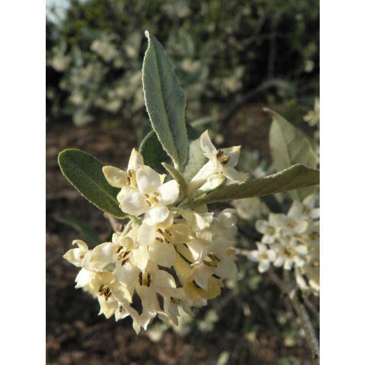 Elaeagnus viridis var. delavayi