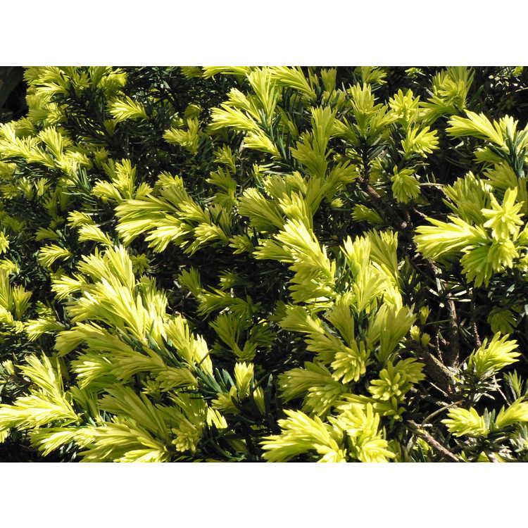 Taxus cuspidata 'Aurescens' - gold-flush Japanese yew