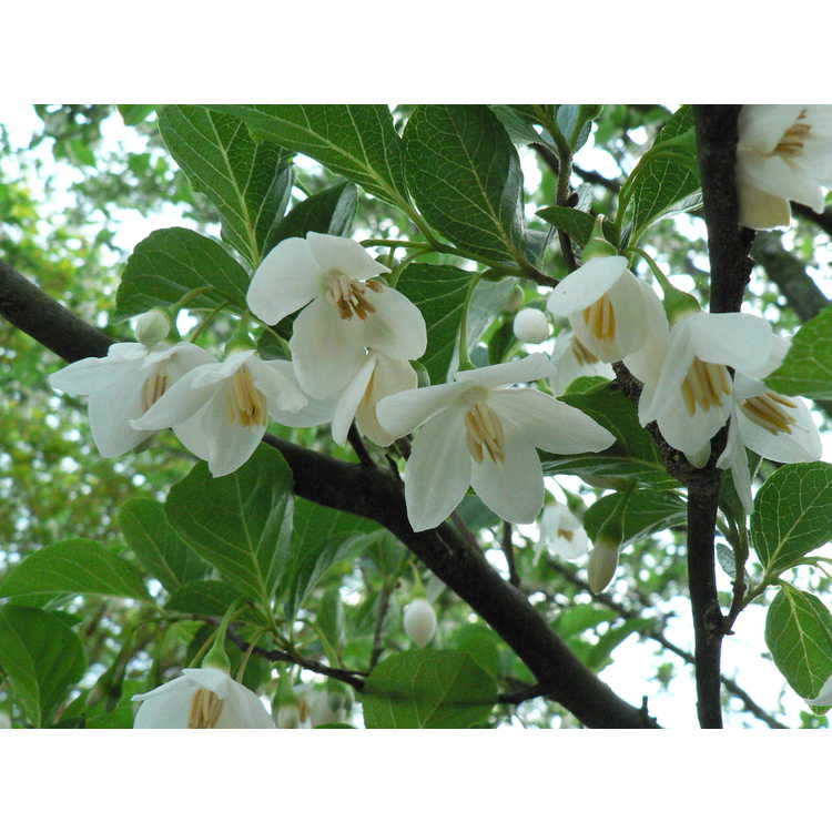 Styrax japonicus 'Emerald Pagoda' - Japanese snowbell
