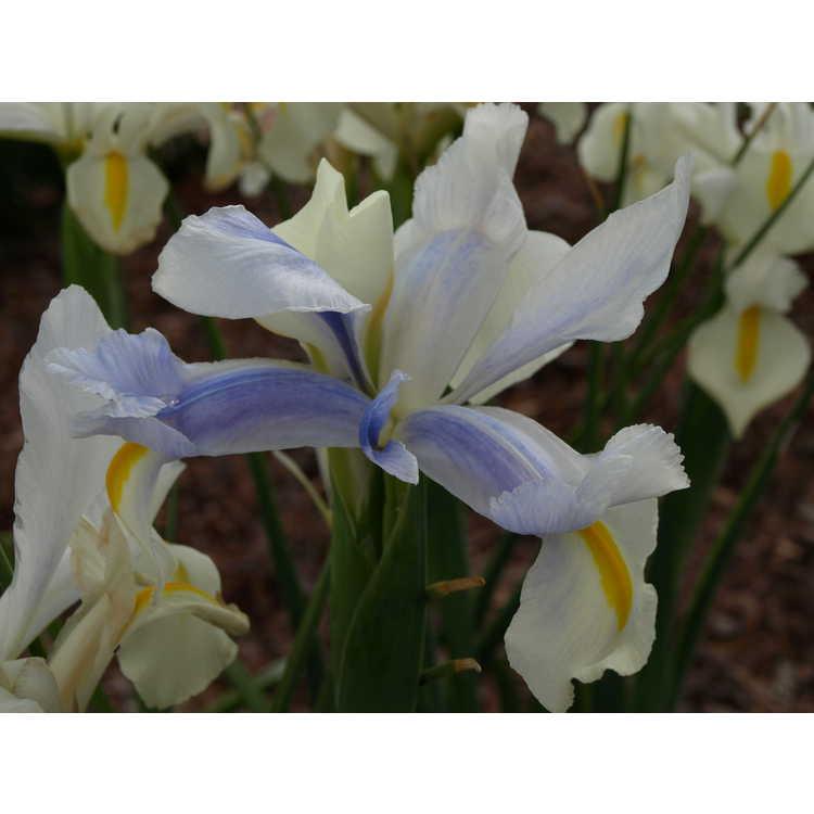 Iris 'Casablanca'