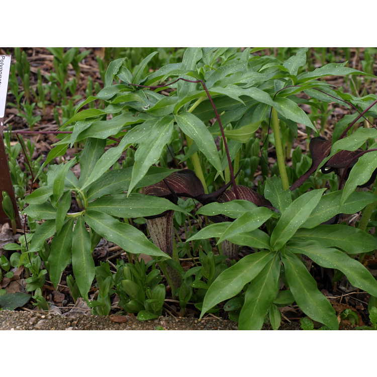 Arisaema thunbergii subsp. urashima - Urashima cobra-lily