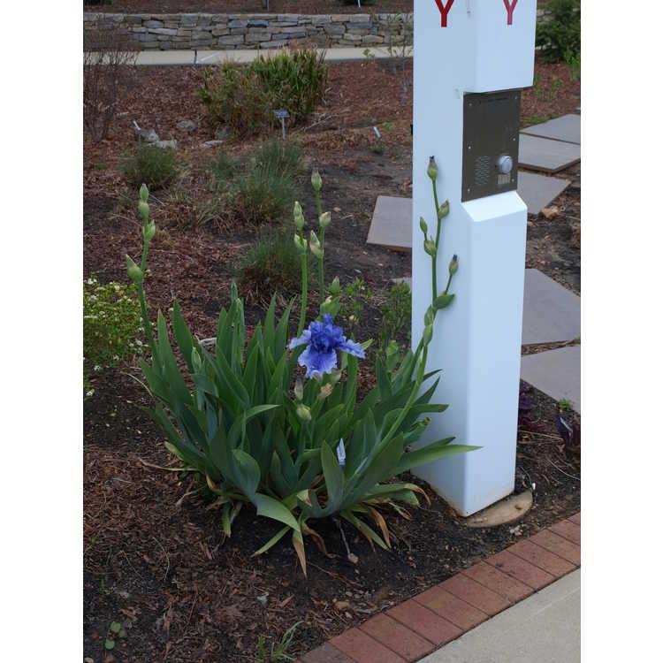 Iris 'Spouting Horn' - tall bearded iris