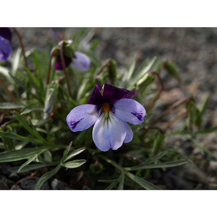 Viola pedata 'Eco Artist Palette'