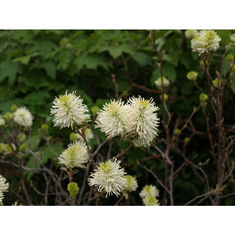 Fothergilla ×intermedia 'Mount Airy'