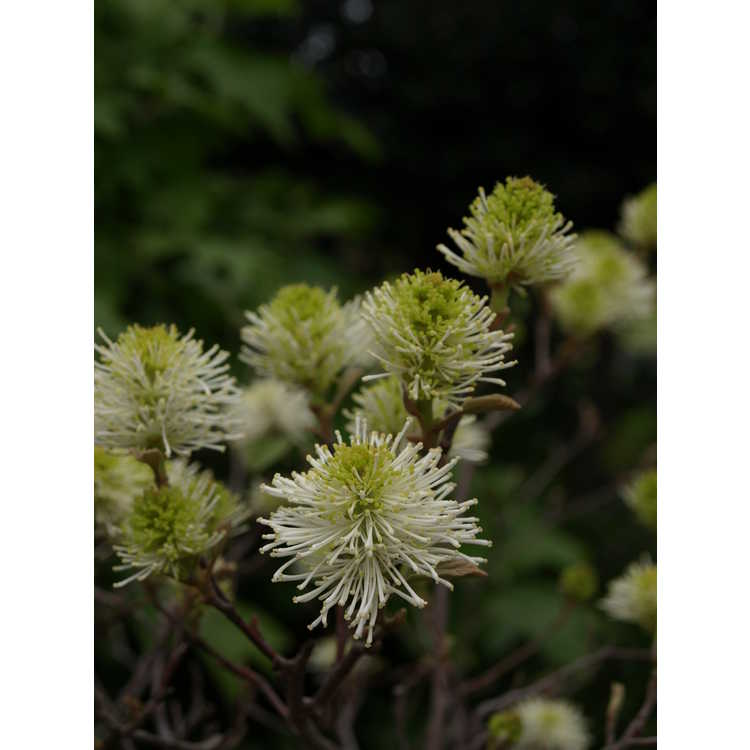 Fothergilla intermedia Mount Airy