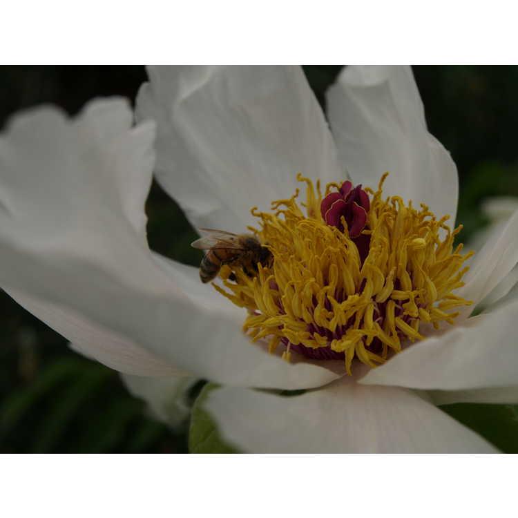 Paeonia ostii Feng Dan Bai Phoenix White