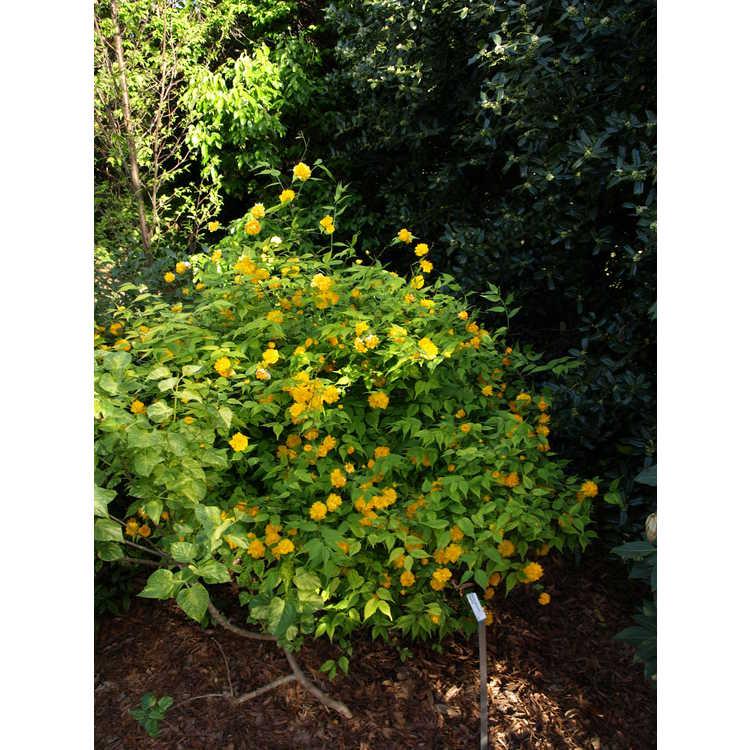 Kerria japonica 'Geisha' - variegated Japanese kerria
