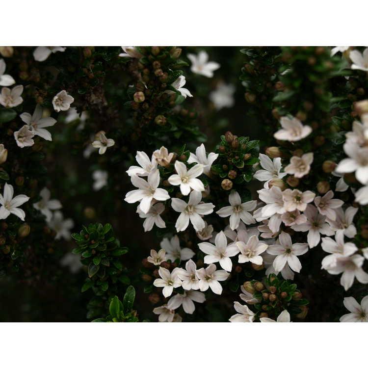 Serissa japonica 'Sapporo' - Japanese snow rose
