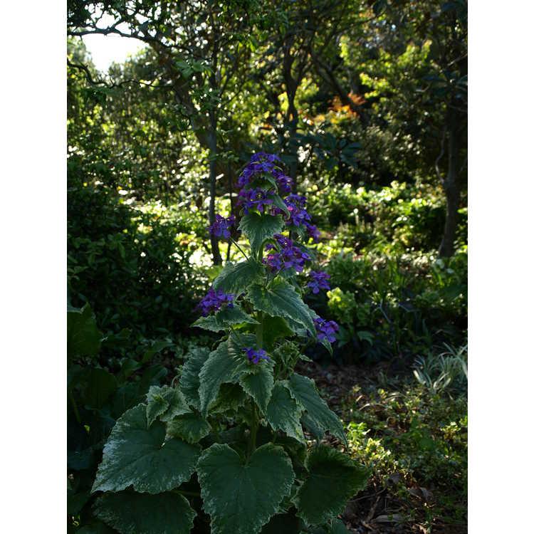 Lunaria annua variegata