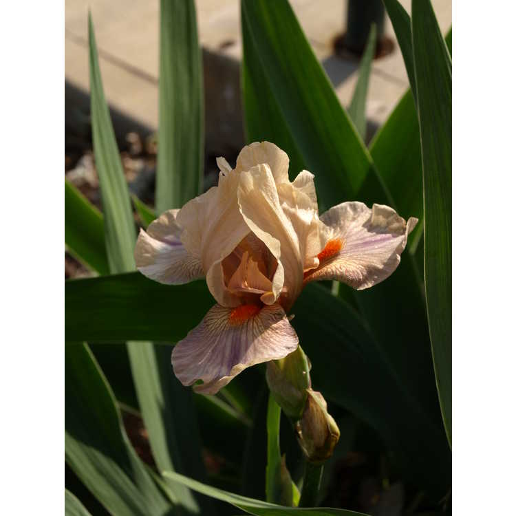 Iris 'Adopt Me' - intermediate bearded iris