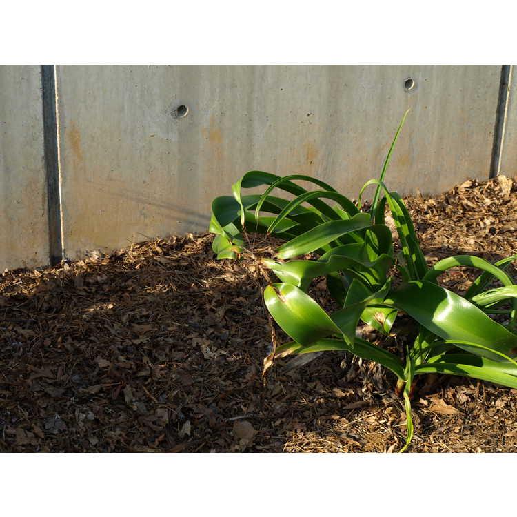 Crinum ×powellii - hybrid crinum-lily