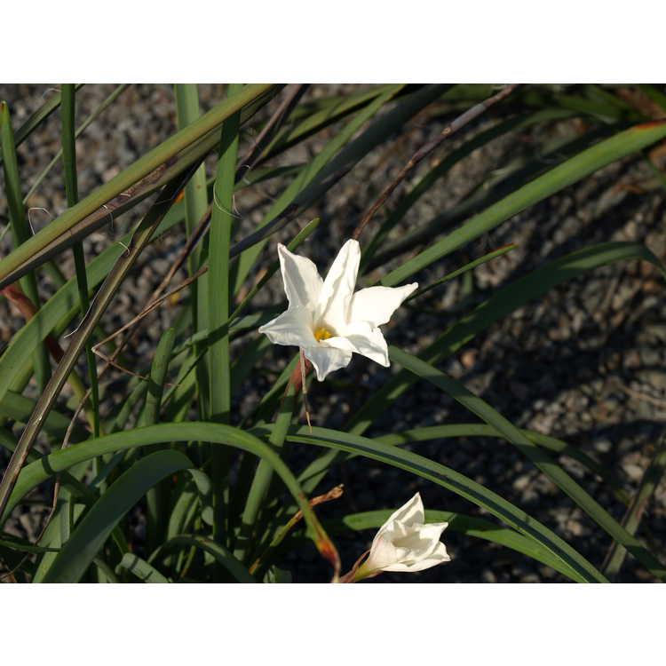 Zephyranthes drummondii (San Carlos form) - giant prairie lily